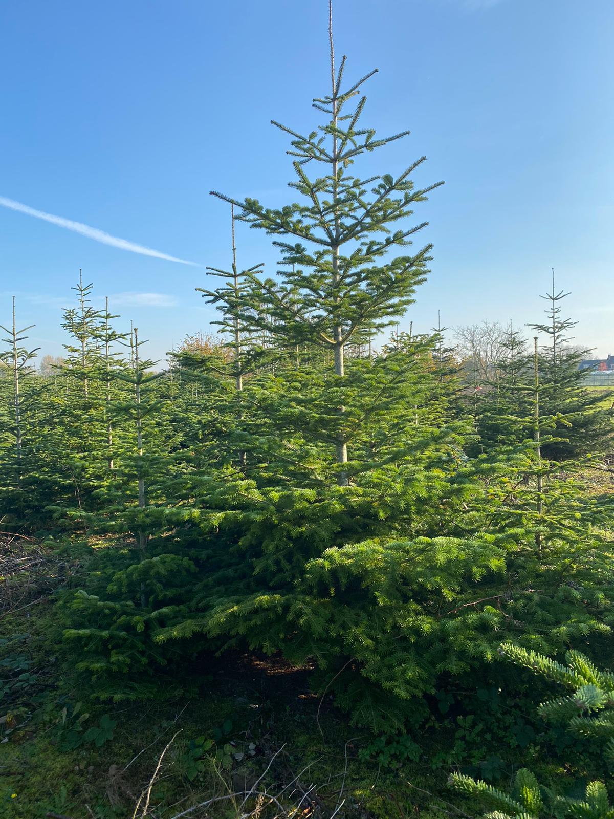 Kerstbomen Bilthoven